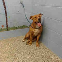 Boxer/Pit Bull Terrier Mix Dog for adoption in San Bernardino, California - URGENT ON 8/12  San Bernardino