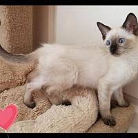 Siamese Kitten for adoption in Orlando, Florida - Sumalee (KJ) 5.20.17