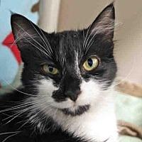 Adopt A Pet :: MITTENS - Fort Wayne, IN