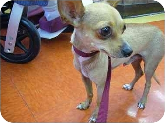Chihuahua Dog for adoption in Van Nuys, California - Tiny Charlie