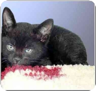 Domestic Shorthair Kitten for adoption in San Clemente, California - SNEAKERS = Good w/Other Cats!