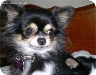 Chihuahua Dog for adoption in Kokomo, Indiana - Chi's Bonded PR