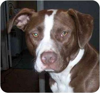 Labrador Retriever/Staffordshire Bull Terrier Mix Puppy for adoption in Sacramento, California - Layla.SWIMMER