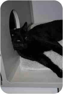 Domestic Shorthair Cat for adoption in Marietta, Georgia - Mark