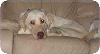 Labrador Retriever Dog for adoption in Coppell, Texas - Max