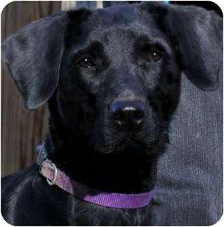Labrador Retriever Dog for adoption in Wakefield, Rhode Island - ETTA(SOOO SMART--LOVES WATER!!