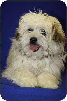 Lhasa Apso Mix Puppy for adoption in Broomfield, Colorado - Darrent