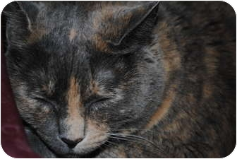 Domestic Shorthair Cat for adoption in Yuba City, California - Chiki (Unknown Age)
