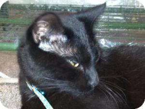 Domestic Shorthair Cat for adoption in Omaha, Nebraska - Tom