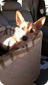 Corgi/Dachshund Mix Puppy for adoption in Santa Monica, California - Rikki