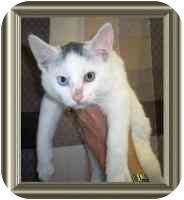 Domestic Mediumhair Kitten for adoption in Sacramento, California - Simon (Tiffy)!