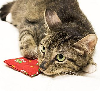 Domestic Shorthair Cat for adoption in Chicago, Illinois - Lil Bit