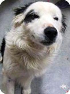 Border Collie Dog for adoption in Oswego, Illinois - I'M ADOPTED Phantom Holm