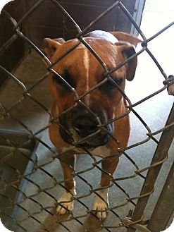 American Pit Bull Terrier Mix Dog for adoption in Yuba City, California - 04/12 Bongo