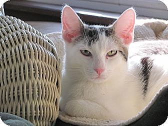 Domestic Shorthair Cat for adoption in Maywood, Illinois - Garfield