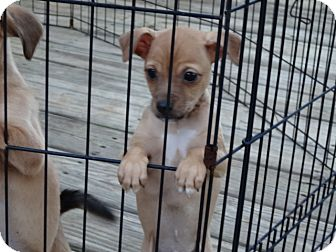 Chihuahua/Beagle Mix Puppy for adoption in Syacuse, New York - Lawson