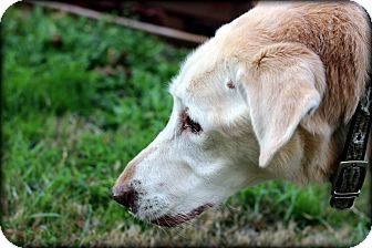 Labrador Retriever Mix Dog for adoption in Fort Worth, Texas - Old Man