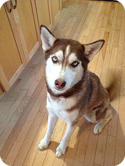 Siberian Husky Dog for adoption in Minneapolis, Minnesota - Gypsy