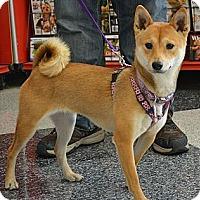Adopt A Pet :: Shika - Centennial, CO