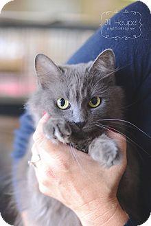 Domestic Mediumhair Cat for adoption in Edwardsville, Illinois - Gracie
