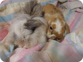 Lionhead Mix for adoption in Hillside, New Jersey - Peaches & Cream