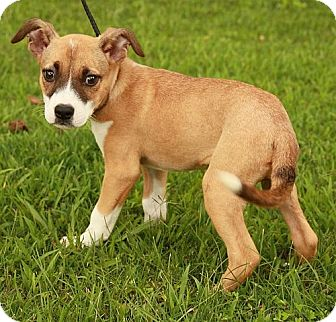 Boxer/Shepherd (Unknown Type) Mix Puppy for adoption in Hagerstown, Maryland - Haven (POM)