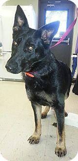German Shepherd Dog Dog for adoption in Foster, Rhode Island - Jazz
