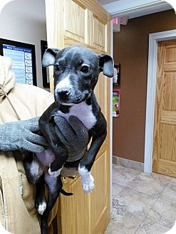 Pit Bull Terrier Mix Puppy for adoption in Clarkston, Michigan - JuJu