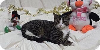 Domestic Shorthair Kitten for adoption in Carlisle, Pennsylvania - Prim