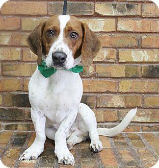 Basset Hound/Beagle Mix Dog for adoption in Benbrook, Texas - Hank