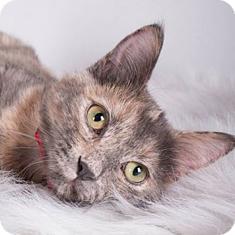 Domestic Shorthair Kitten for adoption in Edmonton, Alberta - Nellie