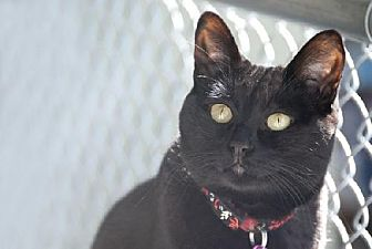 Domestic Shorthair Cat for adoption in Seal Beach, California - Lucy