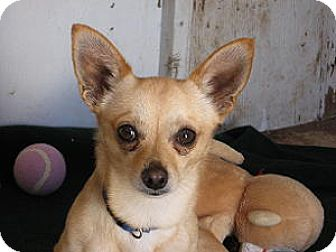 Chihuahua Dog for adoption in Las Cruces, New Mexico - Dingo