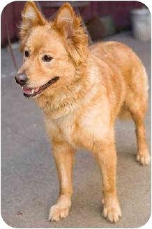 Golden Retriever/Chow Chow Mix Dog for adoption in Portland, Oregon - Kody