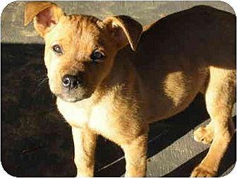 Hound (Unknown Type)/Labrador Retriever Mix Puppy for adoption in Oswego, New York - Amber