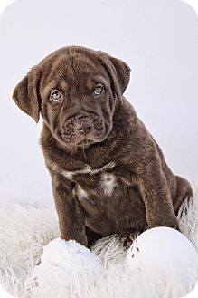 American Staffordshire Terrier/Chow Chow Mix Puppy for adoption in West Allis, Wisconsin - Digate - Adoption Pending