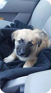 German Shepherd Dog/Collie Mix Puppy for adoption in Florence, Kentucky - Leo--Pending