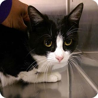 Domestic Shorthair Cat for adoption in Parma, Ohio - Buddy