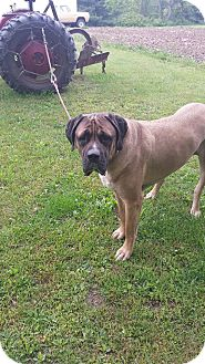 English Mastiff Mix Dog for adoption in Flintstone, Maryland - Koda
