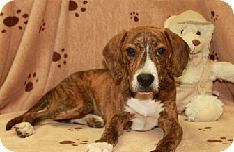 Plott Hound Mix Dog for adoption in Salem, New Hampshire - Oscar