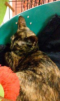 Domestic Shorthair Kitten for adoption in Yorba Linda, California - Sweet Pea