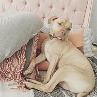 Adopt A Pet :: Elvis - Oak Ridge, NJ