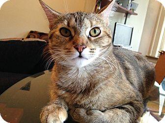 Domestic Shorthair Cat for adoption in Oak Park, Illinois - Khana