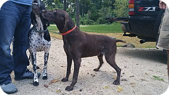 German Shorthaired Pointer Mix Dog for adoption in Alma, Wisconsin - Trigger