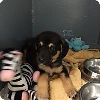 Adopt A Pet :: Dak - South Dennis, MA