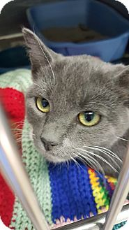 Domestic Shorthair Kitten for adoption in Cody, Wyoming - Pewter