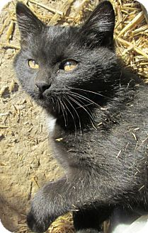 Domestic Shorthair Cat for adoption in Buhl, Idaho - Octavio