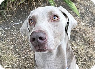 Weimaraner Dog for adoption in Sun Valley, California - Luke