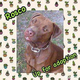 Labrador Retriever/Pit Bull Terrier Mix Dog for adoption in Tampa, Florida - Rosco A*