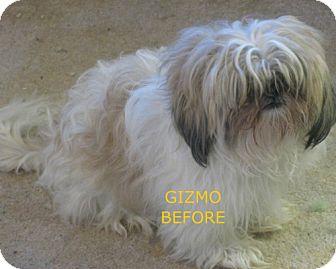 Shih Tzu Dog for adoption in Snellville, Georgia - Gizmo